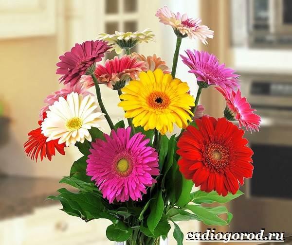Герберы-цветы-Выращивание-гербер-Уход-за-герберами-7