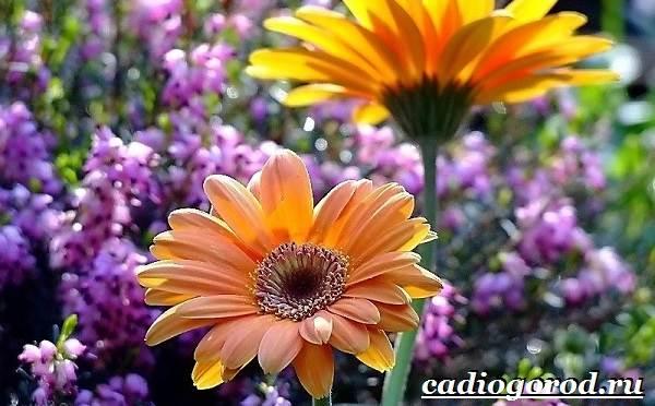 Герберы-цветы-Выращивание-гербер-Уход-за-герберами-9