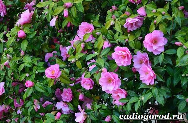 Камелия-цветок-Выращивание-камелии-Уход-за-камелией-3
