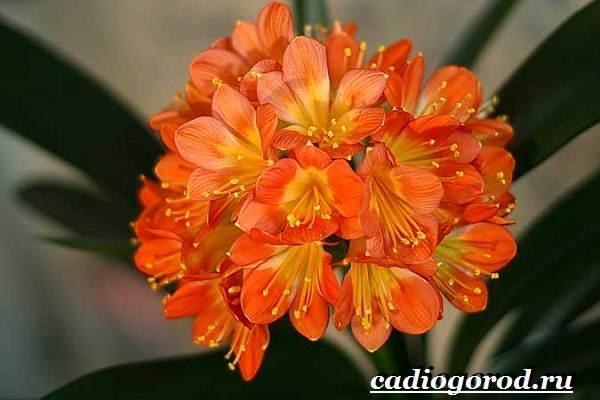 Кливия-цветок-Выращивание-кливии-Уход-за-кливией-8