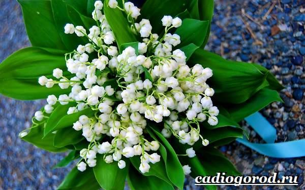 Ландыш-цветок-Описание-особенности-уход-и-выращивание-ландышей-1