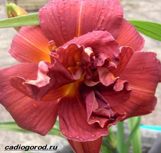 Лилейник-цветок-Выращивание-лилейника-Уход-за-лилейником-2