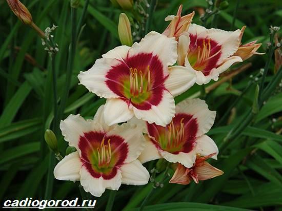 Лилейник-цветок-Выращивание-лилейника-Уход-за-лилейником-5