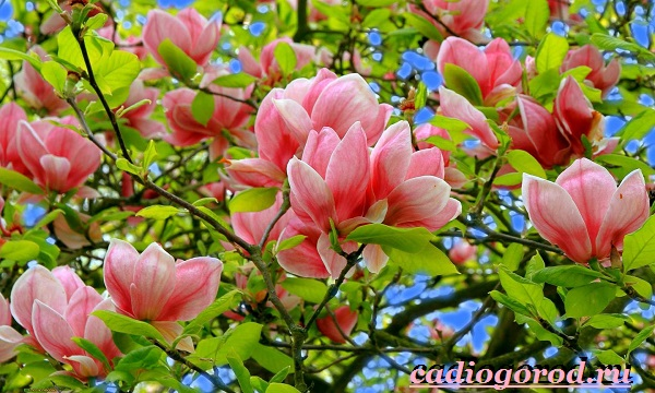 Цветы магнолии
