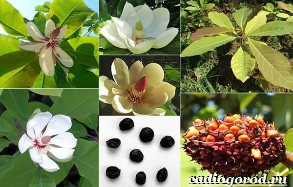 Магнолия-цветок-Выращивание-магнолии-Уход-за-магнолией-20
