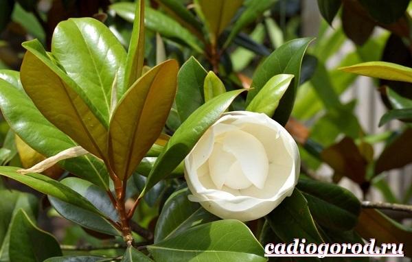 Магнолия-цветок-Выращивание-магнолии-Уход-за-магнолией-8