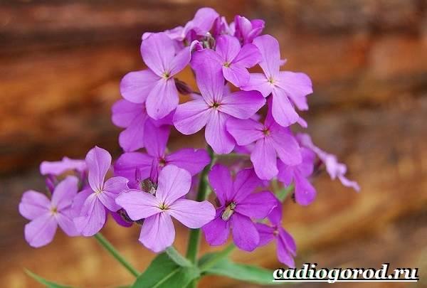 Ночная-фиалка-цветок-Выращивание-ночной-фиалки-Уход-за-ночной-фиалкой-6
