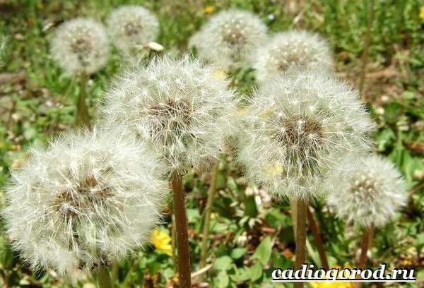 Одуванчик-растение-Описание-особенности-лечебные-свойства-и-применение-одуванчика-1
