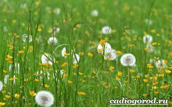 Одуванчик-растение-Описание-особенности-лечебные-свойства-и-применение-одуванчика-3