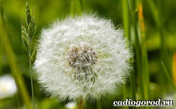 Одуванчик-растение-Описание-особенности-лечебные-свойства-и-применение-одуванчика-4