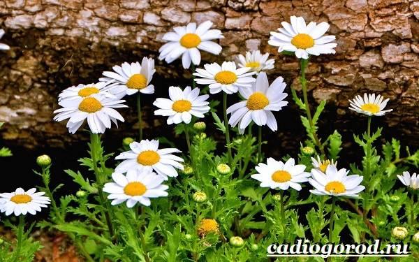 Ромашка садовая фото цветов
