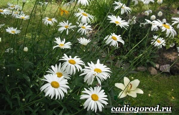 Ромашка-садовая-цветок-Выращивание-ромашки-садовой-Уход-за-ромашкой-садовой-4