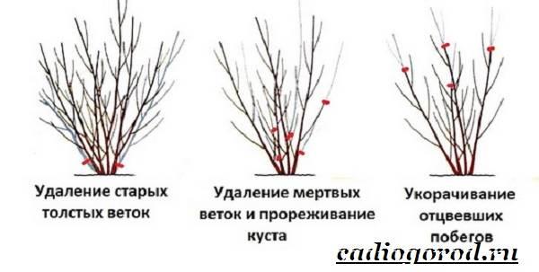 Сирень-обыкновенная-Выращивание-сирени-обыкновенной-Уход-за-сиренью-обыкновенной-13