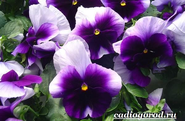 Виола-цветок-Выращивание-виолы-Уход-за-виолой-6