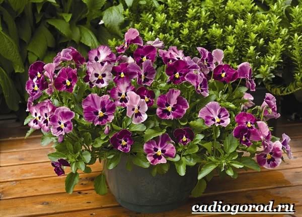 Виола-цветок-Выращивание-виолы-Уход-за-виолой-8
