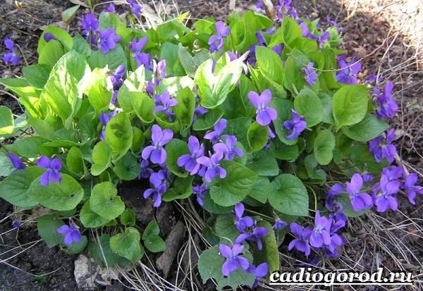 Виола-цветок-Выращивание-виолы-Уход-за-виолой-9