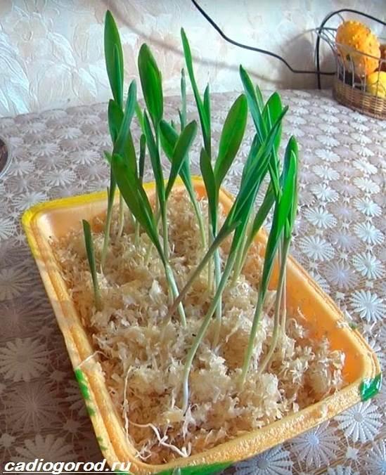 Выращивание-кукурузы-Как-и-когда-сажать-кукурузу-Уход-за-кукурузой-6