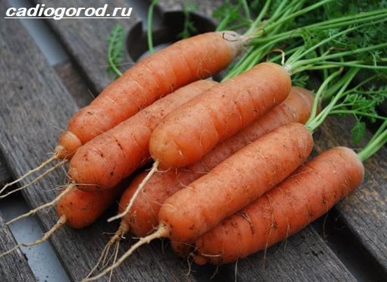 vyrashhivanie-morkovi-kak-i-kogda-sazhat-morkov-uxod-za-morkovyu-1