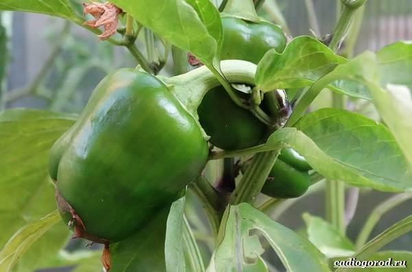 Выращивание-сладкого-перца-Как-и-когда-сажать-сладкий-перец-Уход-за-перцем-10