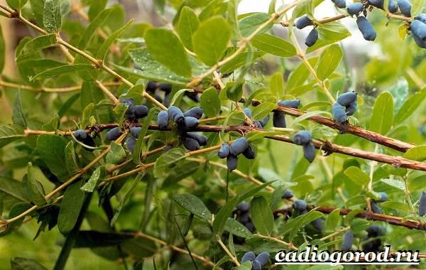 Жимолость-кустарник-Выращивание-жимолости-Уход-за-жимолостью-3