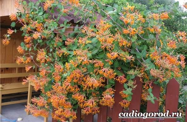 Жимолость-кустарник-Выращивание-жимолости-Уход-за-жимолостью-5