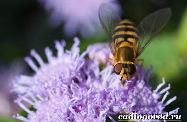 Агератум-цветок-Описание-особенности-виды-и-уход-за-агератумом-13