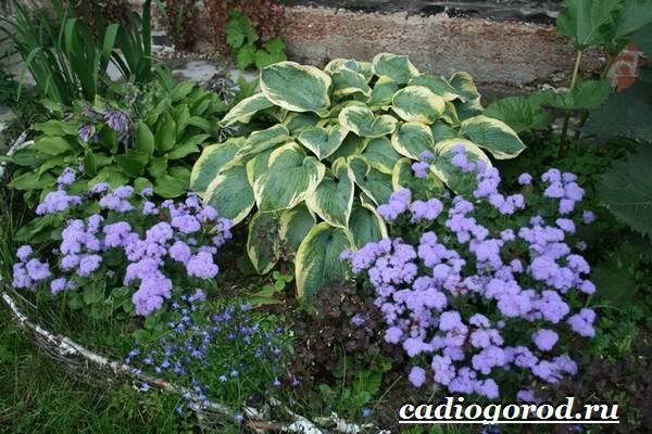 Агератум-цветок-Описание-особенности-виды-и-уход-за-агератумом-8