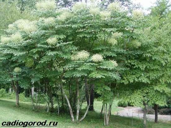 Аралия-растение-Описание-свойства-виды-и-уход-за-аралией-1