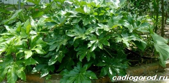 Аралия-растение-Описание-свойства-виды-и-уход-за-аралией-2