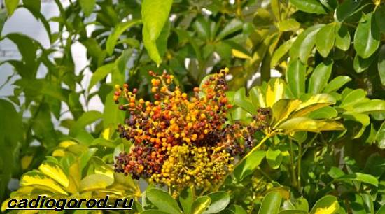 Аралия-растение-Описание-свойства-виды-и-уход-за-аралией-4