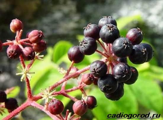 Аралия-растение-Описание-свойства-виды-и-уход-за-аралией-7
