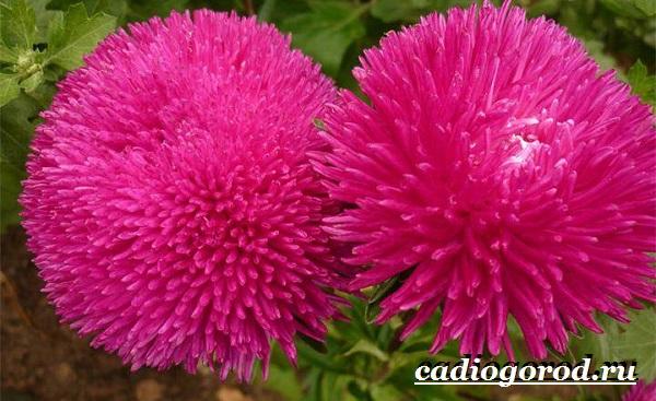 Астра цветок. Описание, особенности, виды и уход за астрой-13