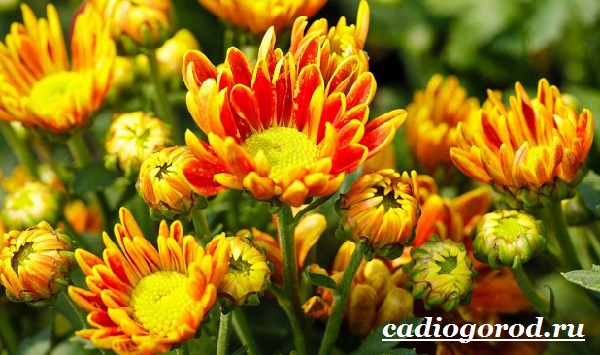 Астра цветок. Описание, особенности, виды и уход за астрой-7