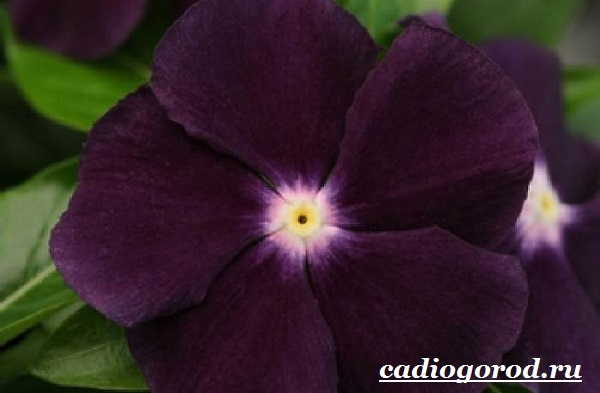 Барвинок-цветок-Описание-особенности-виды-и-уход-за-барвинком-15