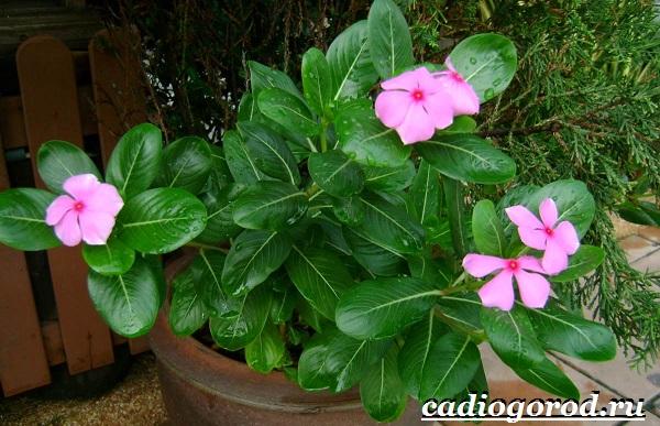 Барвинок-цветок-Описание-особенности-виды-и-уход-за-барвинком-3