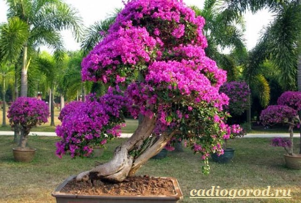 Бугенвиллия-цветок-Описание-особенности-виды-и-уход-за-бугенвиллией-7