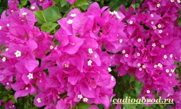Бугенвиллия-цветок-Описание-особенности-виды-и-уход-за-бугенвиллией-8