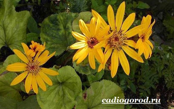 Бузульник-растение-Описание-особенности-виды-и-уход-за-бузульником-10