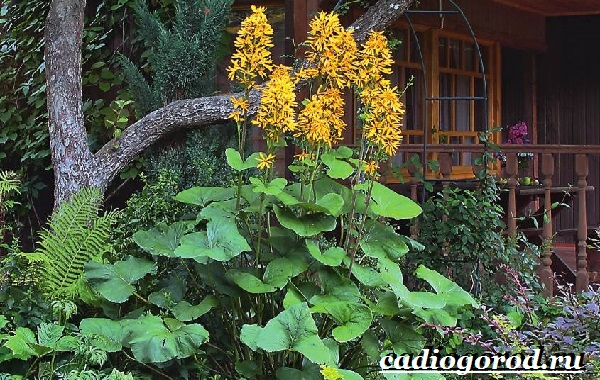 Бузульник-растение-Описание-особенности-виды-и-уход-за-бузульником-11