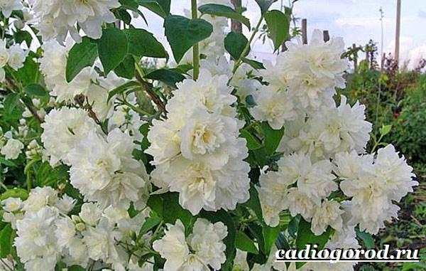 Чубушник-цветок-Описание-особенности-виды-и-уход-за-чубушником-10