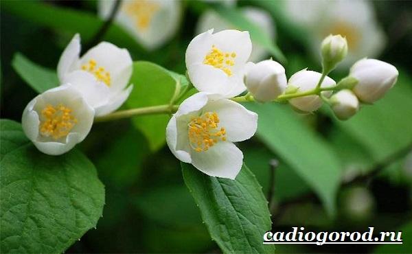 Чубушник-цветок-Описание-особенности-виды-и-уход-за-чубушником-14