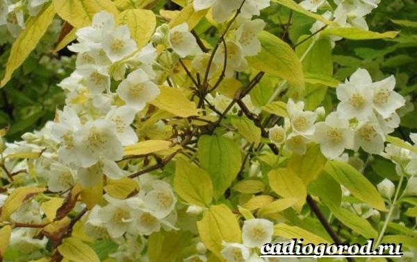 Чубушник-цветок-Описание-особенности-виды-и-уход-за-чубушником-2