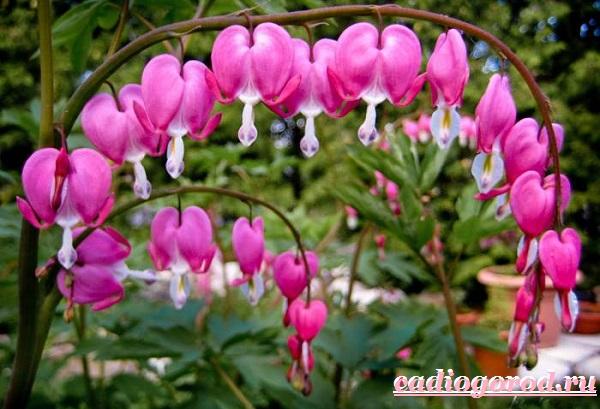 Дицентра-цветок-Описание-особенности-виды-и-уход-за-дицентрой-3