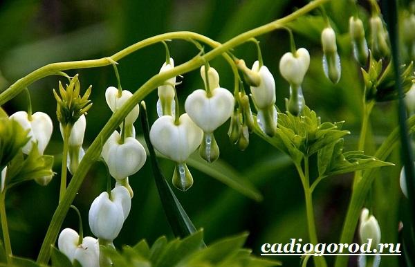 Дицентра-цветок-Описание-особенности-виды-и-уход-за-дицентрой-5