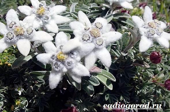 Эдельвейс-цветок-Описание-особенности-виды-и-уход-за-эдельвейсом-12