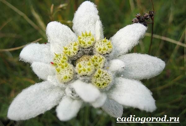 Эдельвейс-цветок-Описание-особенности-виды-и-уход-за-эдельвейсом-2