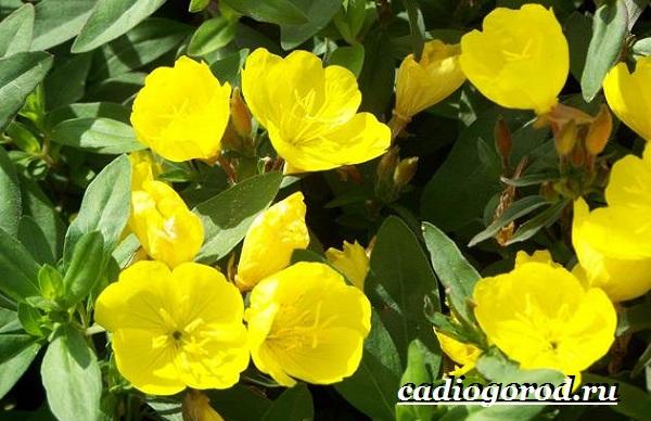 Энотера-цветок-Описание-особенности-виды-и-уход-за-энотерой-10