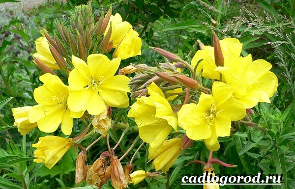 Энотера-цветок-Описание-особенности-виды-и-уход-за-энотерой-12