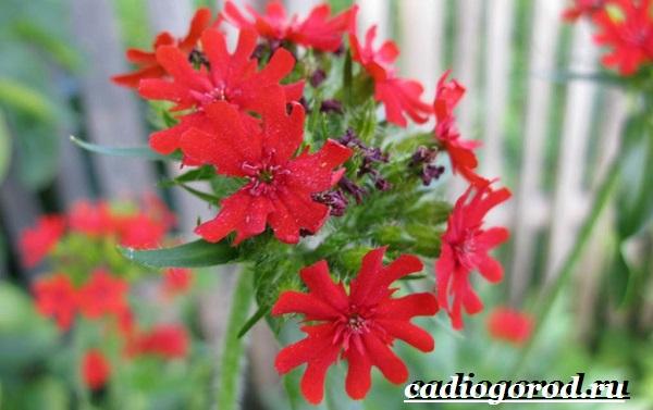 Энотера-цветок-Описание-особенности-виды-и-уход-за-энотерой-13