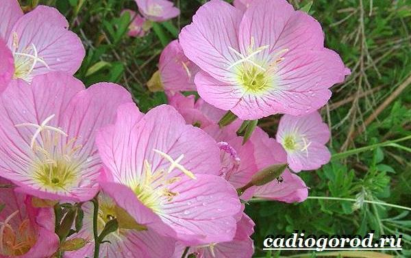 Энотера-цветок-Описание-особенности-виды-и-уход-за-энотерой-15